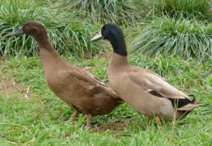 Beginner Ducks Pinioning Guide