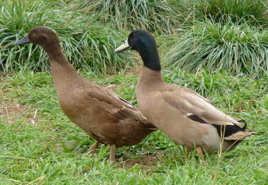 duck farming guide for beginners pdf